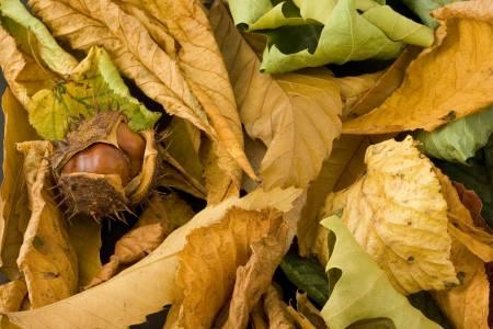 Vadgesztenye ősszel