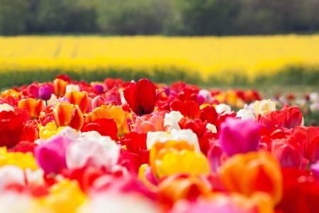 Sárga és piros tulipánok