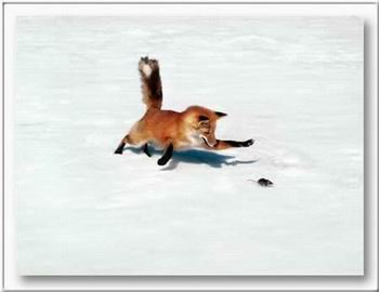 Róka egér harc. - Állatos képeslap.