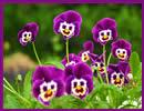 Árvácska virágos  képeslap névnapra, születésnapra és egyéb alkalmakra.