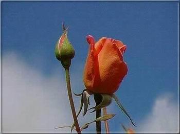 Kép: Virágok 1708 képeslap.