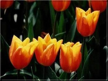 Szép tulipán képeslap az ünnepeltnek.