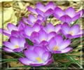 Lótuszvirág 62 képeslap névnapra, születésnapra és egyéb jeles alkalmakra.